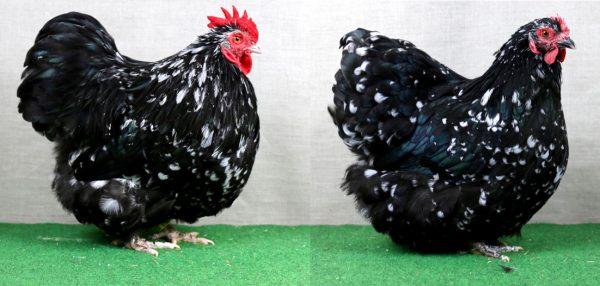 Poules orpington noir caillouté